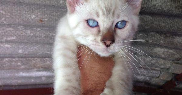 Blue Eyed Blue Snow Bengal Stud Cat For Sale 56a9c7d7d257d Jpg 960 720 Pixels Cats For Sale Feline Animals