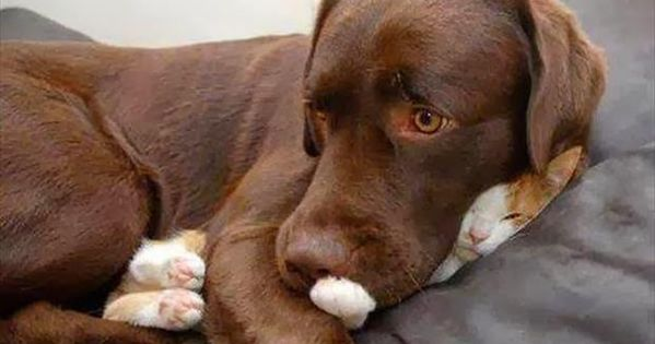 The cat? No. I haven't seen her. Chocolate lab and kitten sleeping