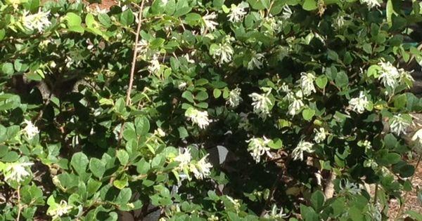 Loralapetalum - blooming in July?! | Homegrown Beauty 2012 | Pinterest