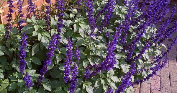 May Night Salvia Good Rose Companion Plant Outdoor