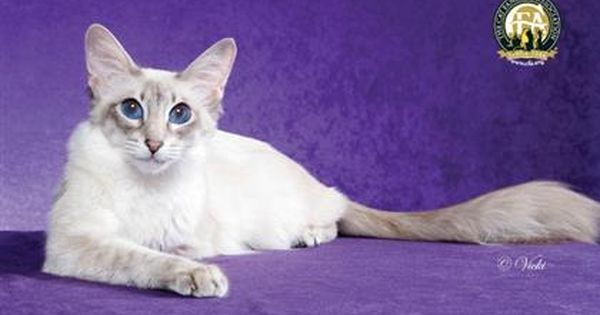 6 Cat Breeds With Blue Eyes Pet360 Pet Parenting Simplified Siamese Cats Blue Point Balinese Cat Cat Breeds