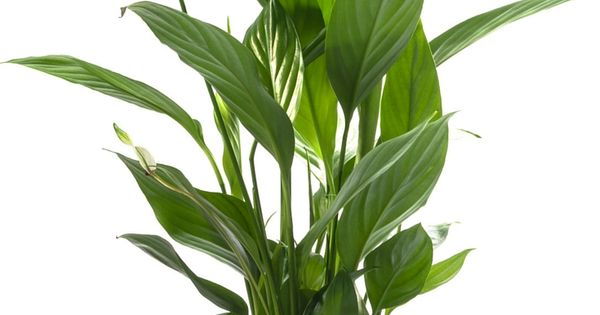 10 plants for better air quality indoor air quality for Indoor plants for better air quality