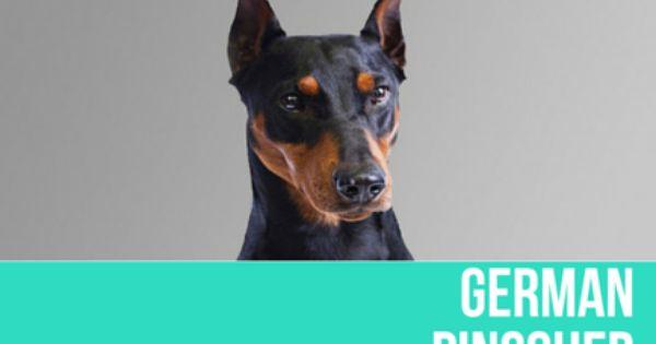 Promise Olympia Doberman Pinschers Dogs Doberman Pinscher