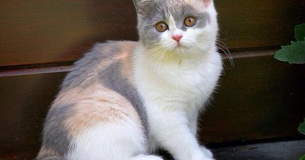Pin On Calico Cats Kittens