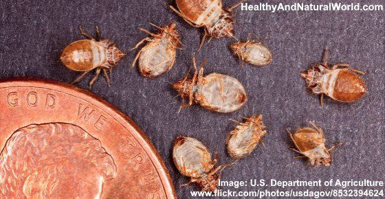 10 Amazing Natural Ways To Quickly Get Rid Of Bed Bugs Bed Bugs