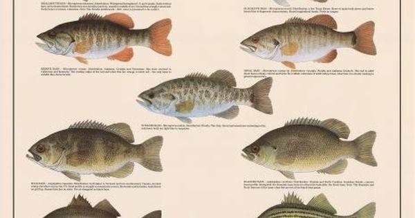 Freshwater bass of north america fishing pinterest for North american freshwater fish