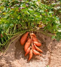 Sweet Potato Recipes And How To Grow Growing Vegetables Veggie Garden Growing Sweet Potatoes