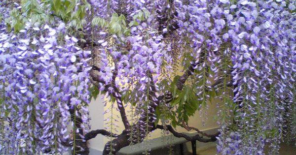 Glicina buscar con google plantas jardin japones for Glicina planta