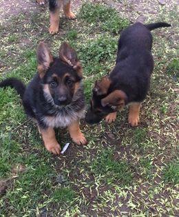 German Shepherd Dog Puppy For Sale In Houston Tx Adn 25766 On Puppyfinder Com Gender M German Shepherd Dogs German Shepherd Puppies German Shepherd Training