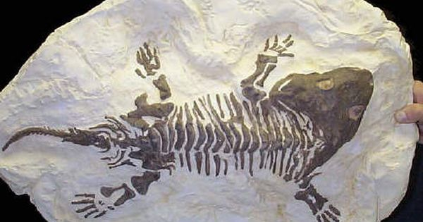 fossil permian amphibian seymouria replica indiana jones