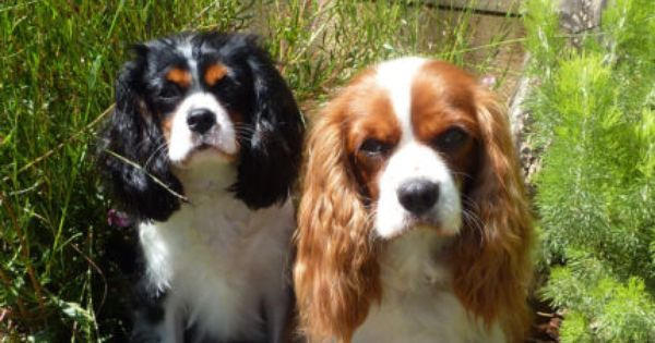 Gumtree Private Home Boarding For Cavalier King Charles Spaniels Emu Heights Nsw Cavalier King Charles Spaniel King Spaniel King Charles