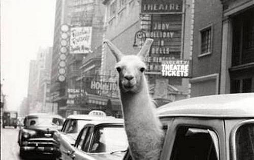NYC. A Llama in Times Square, 1957. By Inge Morath // Magnum
