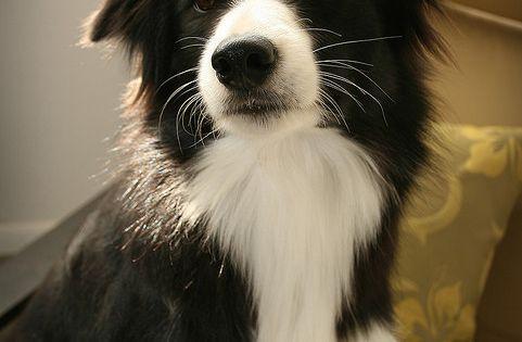 Dream dog, Border Collie!! :)