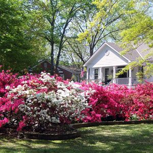 When To Plant Azaleas Other Common Questions Azaleas Landscaping Azaleas Garden Front Yard Landscaping