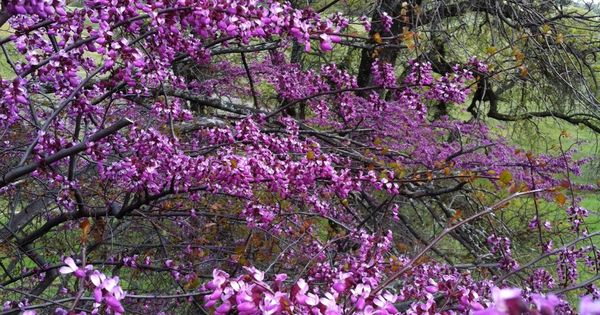California Redbud Tree These Are The Bright Purple Flower