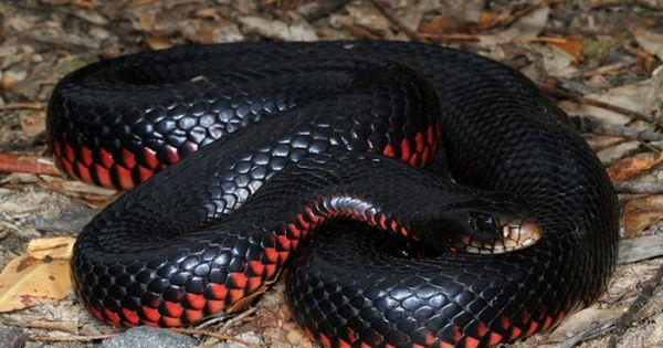 Exotic Venom (Pseudechis porphyriacus) red-bellied black ...