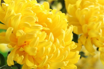 Flower Of The Month Of November Chrysanthemum A Symbol Of The Sun The Japanese Consider The Orderly U Birth Month Flowers November Birth Flower Birth Flowers