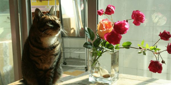 Are Roses Poisonous To Cats Toxic Plants For Cats Flowers Toxic To Cats Cat Safe Plants