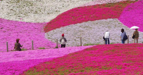 Pink landscape, Hitachi Seaside Park, Ibaraki, Japan