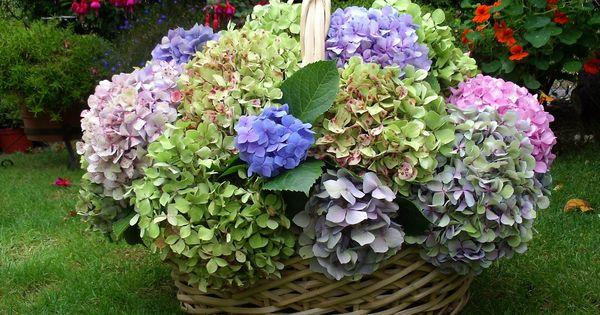Hortensias y gardenias cuidado de las plantas for Hortensias cultivo y cuidados