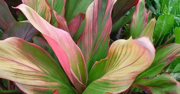 Cordyline Australis Purple Tower Giant Dracaena New Zealand Plants Tropical Plants Variegated Plants