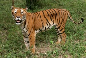 How To Become A Zoologist Environmentalscience Org National Animal How To Become Tiger Conservation
