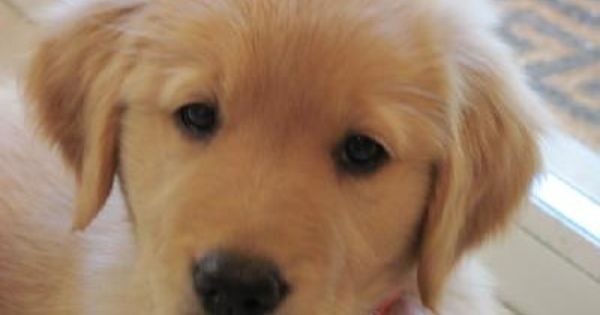 Or A Lab Golden Retriever Mix Lab Mix Puppies Golden Retriever