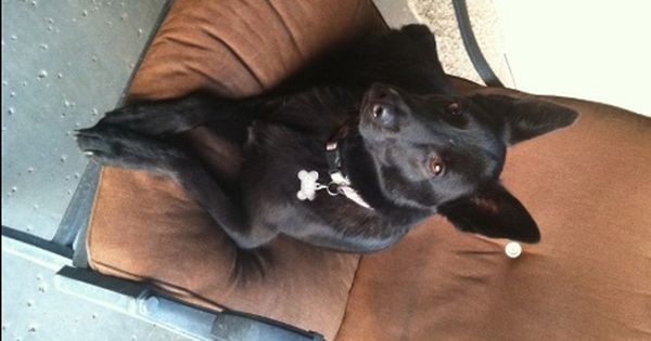 Canon City Co German Shepherd Dog Mix Meet Duce A Dog For