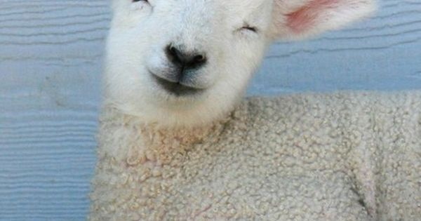 smiling lamb - lamb sheep cute smiling spring farm animal animals lambs