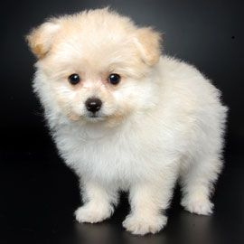 New Dog Breeds I Ll Take This One It S A Pom A Poo Pomeranian