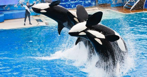 Killer whales at Sea World in Orlando, Florida.
