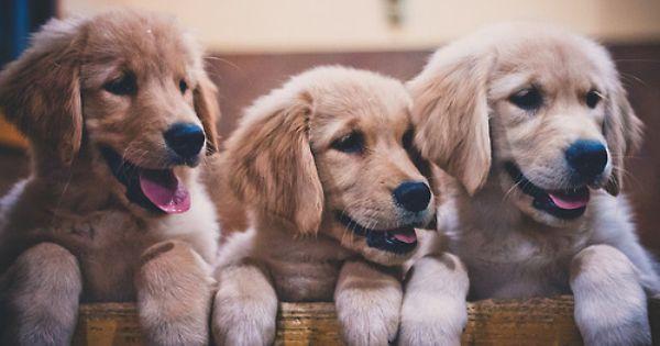 Cute 3 3 3 Golden Puppies Cute Dogs Cute Animals