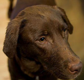 Labrador Cross Staffy Looking At The Labradorlimptail Labradorrescuewestsussex Labradorharness Labrador Retriever Labrador Retriever Dog