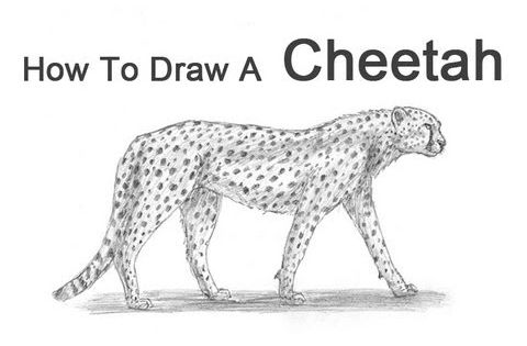How To Draw A Cheetah Tutorials