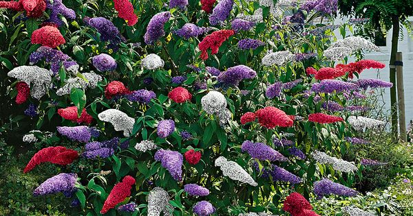 17 low maintenance perennials butterfly bush summer for Low maintenance summer flowers