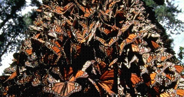 Monarch Migration, Mexico