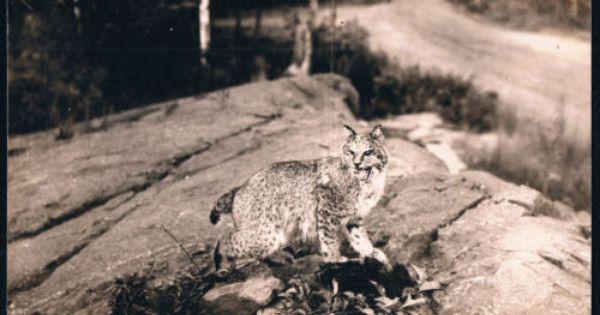 Vintage Wildcat Near Munising Michigan Mi Alger County Real Photo