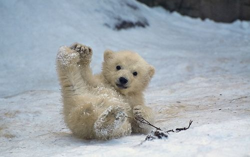 polar bear cub - This is so cute.