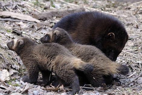 mamma and baby wolverines film animals wolverine pinterest marder fuchs und wolf. Black Bedroom Furniture Sets. Home Design Ideas