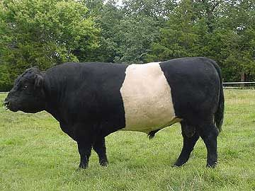 Scottish Horse Breeds Belted Galloway Cow Breeds Dzroxis