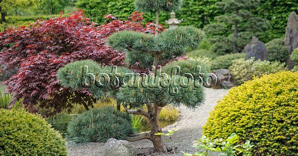 535426 Scots Pine Pinus Sylvestris Glauca Japanese Garden Garden Plants