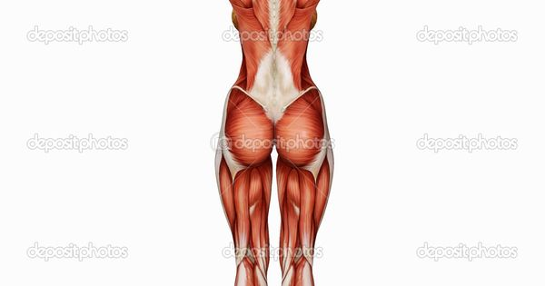 depositphotos_16982501-female-body039s-muscle-structure-from, Muscles