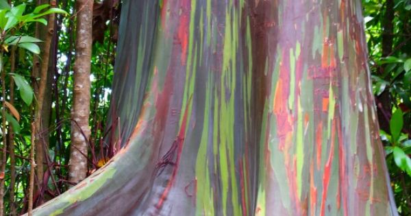 Picture of a Rainbow Eucalyptus I took in Maui :) | Trees ...