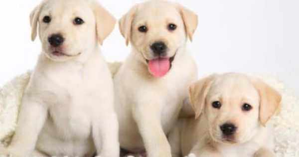 White Lab Puppies So Cute Cute Puppy Pictures Labrador