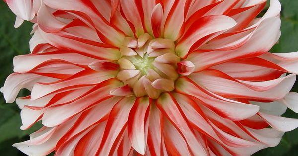 ~~Dahlia by Gerhard Jungnickel~~ BELLISIMA FLOWER GARDEN,,,,,,,**+