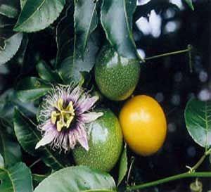 Passionfruit Tree Passion Fruit Plant Fruit Plants Passion Fruit
