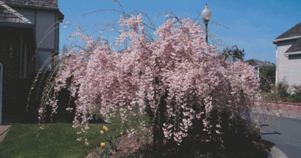 Prunus Subhirtella Pendula Plena Rosea Outdoor Trees Weeping Cherry Tree Perfect Plants