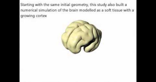 Folding Brain In 3d Brain Models Psychology Brain