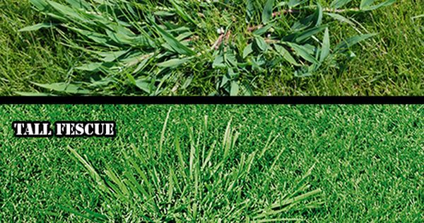 Image Result For Kentucky 31 Tall Fescue Vs Bluegrass Tall Fescue Fescue Lawn Problems