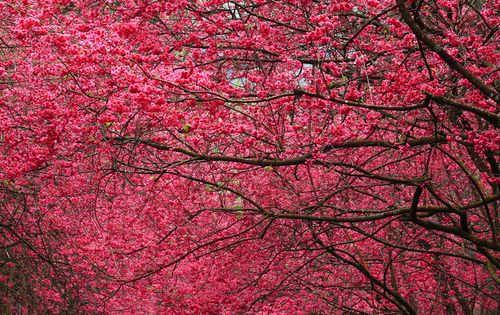 Arched vault of bright pink flowering trees. The color is the same